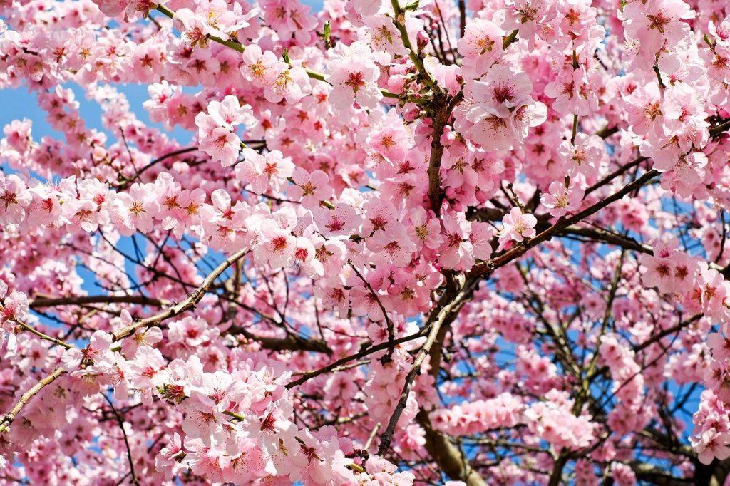 Sakura : Tout ce que vous ne saviez pas